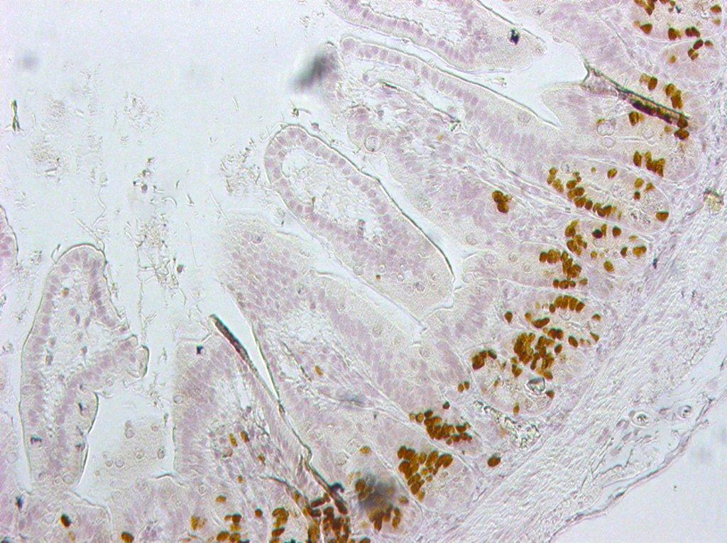 2 dimensional longitudinal view of the crypt villus axis with brown labelled proliferating cells within the crypts